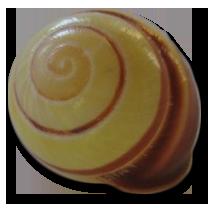 yellowredshell